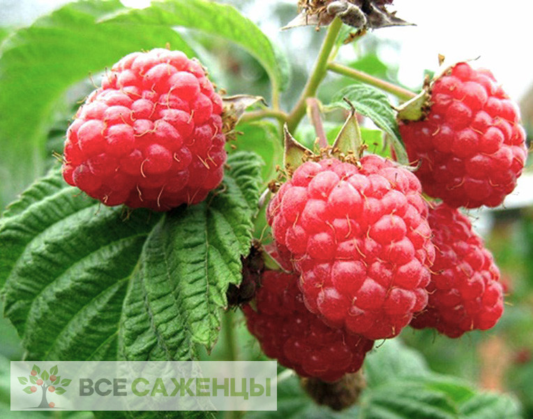 Купить Малина Рубин болгарский