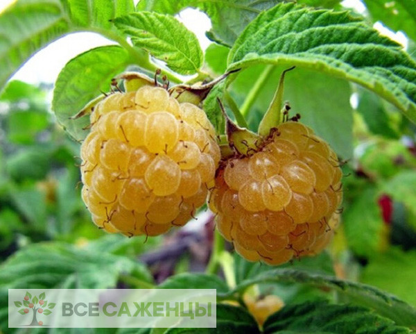 Фото Малина Ананасная