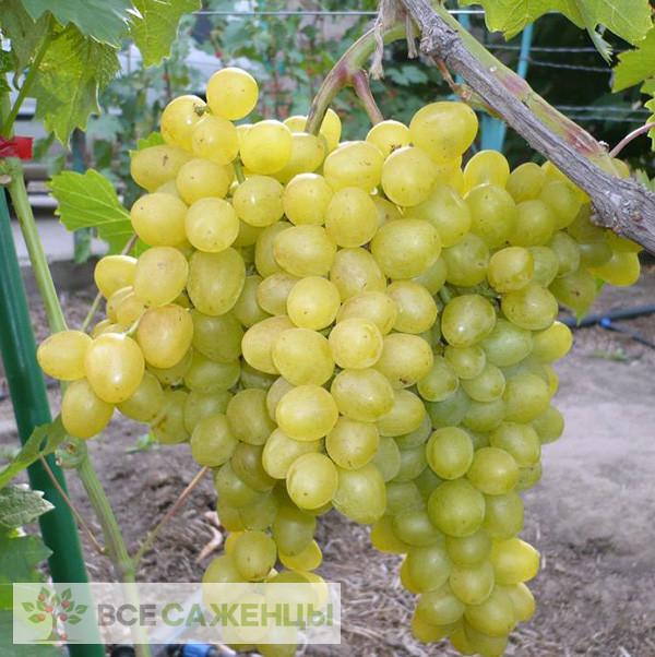 Купить Виноград Супер Экстра (Цитрин)