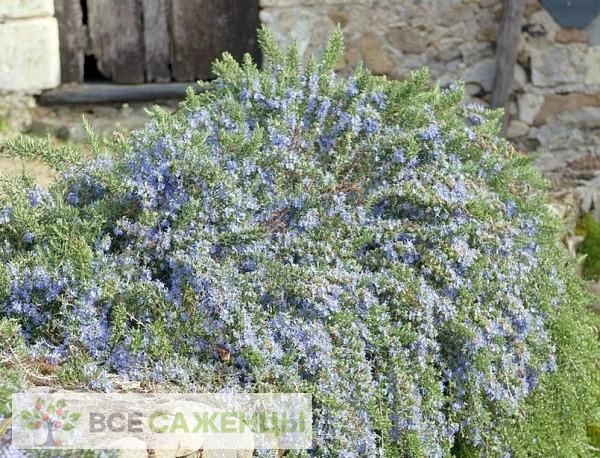 Розмарин лекарственный Корсикан Блю (Corsican Blue)
