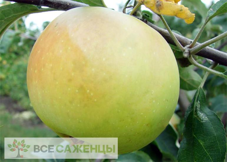 Купить Яблоня Пепинка золотистая